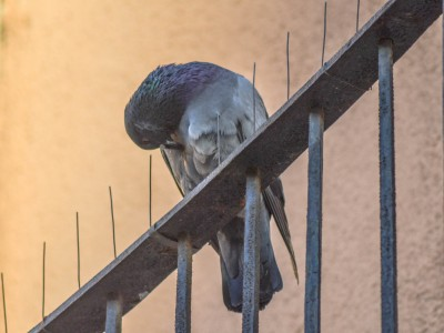 Taube wird nicht von Taubenschreck verscheucht